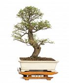 Chinese Elm bonsai tree, Ulmus, isolated on white