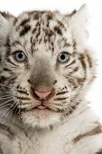Close-up of a White tiger cub (2 months old)