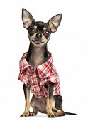 stock photo of no clothes  - Chihuahua wearing a check shirt - JPG