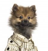 Close-up of a Spitz puppy wearing a checked shirt, 4 months old, isolated on white