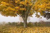 Golden Maple Tree In Autumn.