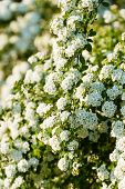 stock photo of meadowsweet  - White Spirea Flowers branch in close up - JPG