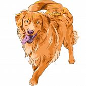 stock photo of scottie dog  - smiling staying red gun hilarious funny dog breed Nova Scotia Duck Tolling Retriever  - JPG
