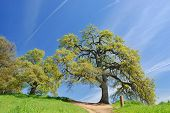 Oak Trees In Spring