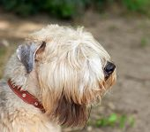 Big dog - portrait