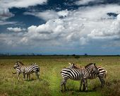Zebra's in savanne van Nairobi National Park. Nairobi skyline is zichtbaar aan de horizon. Kenia
