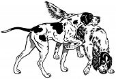 foto of english setter  - english pointer and setter gun dog breeds - JPG