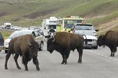YELLOWSTONE, USA - AUGUST 18: bison on August 18, 2007 in Yellowstone: jam on the highway due to the