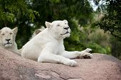 Rare White Lions