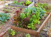 foto of romaine lettuce  - A raised garden bed with a variety of organic lettuces and greens growing together - JPG