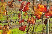 pic of shiraz  - orange autumn leaves on shiraz vine - JPG