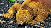 Red Dragon. Land Iguana. Conolophus Subcristatus - Endemic To The Galapagos Islands, Ecuador
