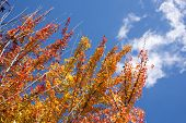 stock photo of trident  - Turned orange color of autumn Trident maple leaves under sky with cloud - JPG
