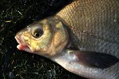 Head of Common Bream