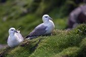 Seagulls Couple On The Grass
