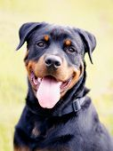 Close-up Of Rottweiler