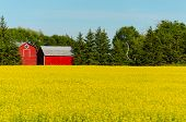 blooming rapeseed plants and red barn in the background