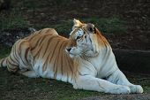 image of white tiger cub  - White tiger relaxing in some short grasses