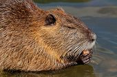 Portrait of a Coipo or Nutria (Myocastor coypus) feeding, South America