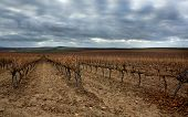 Dark Clouds Over Colourful Vineyard