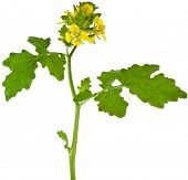 yellow mustard plant flowering on a branch  (Brassicaceae) isolated on white background