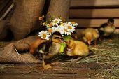 Little cute ducklings in barn