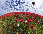 A huge bright balloon flying over scenic hills, blooming red buttercups. Photo taken by lens Fisheye