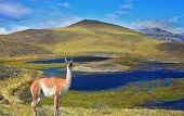 Overgrown grass lake and charming guanaco on the shore. National Park Torres del Paine in Chile