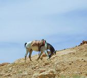 Albanian Horse walking alone in mountains