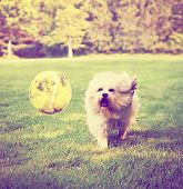 Dog running to try and catch a tennis ball in mid-air done with a retro vintage instagram filter
