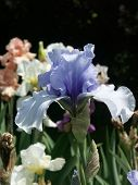 Light Blue Iris