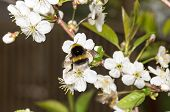 Shaggy Striped Bumblebee On The Flowers Of Cherry
