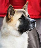 Japanese Akita Dog Portrait
