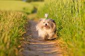 Shih tzu dog running.