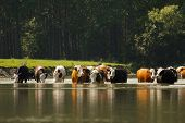 Cows drinking in the water of a river