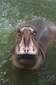 Hippo Open Mouth