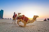 DUBAI, UAE - MARCH 30: Camel ride on the beach at Dubai Marina on March 30, 2014, UAE. Dubai Marina is a district in Dubai with artificial canal city, it accommodates more than 120,000 people.