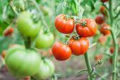 Many bunches with ripe red tomatoes,growing in greenhouse