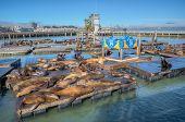 San Francisco, Usa - September 03:california Sea Lions