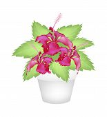 picture of hibiscus flower  - Beautiful Flower Illustration of Fresh Red Hibiscus Flowers or Bunga Raya on Green Leaves in Terracotta Flower Pot for Garden Decoration - JPG