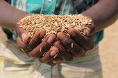 Farmer holding grain