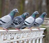 Grey Pigeon Bird Closeup
