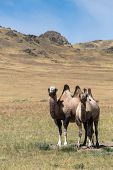 Two Camels On The Background Of Sand, Steppes
