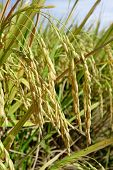 Close Up Of Ripe Rice In The Paddy