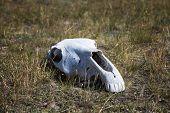 White, Old Skull Of An Animal