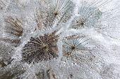 Water drops on dandelion seed