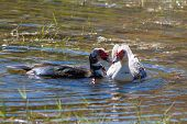 Muscovy Ducks In The Lake