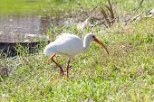 White Ibis In The Lake