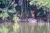 Asian Wild Dogs Eating A Eurasian Wild Pig