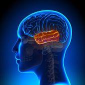Female Temporal Lobe - Anatomy Brain